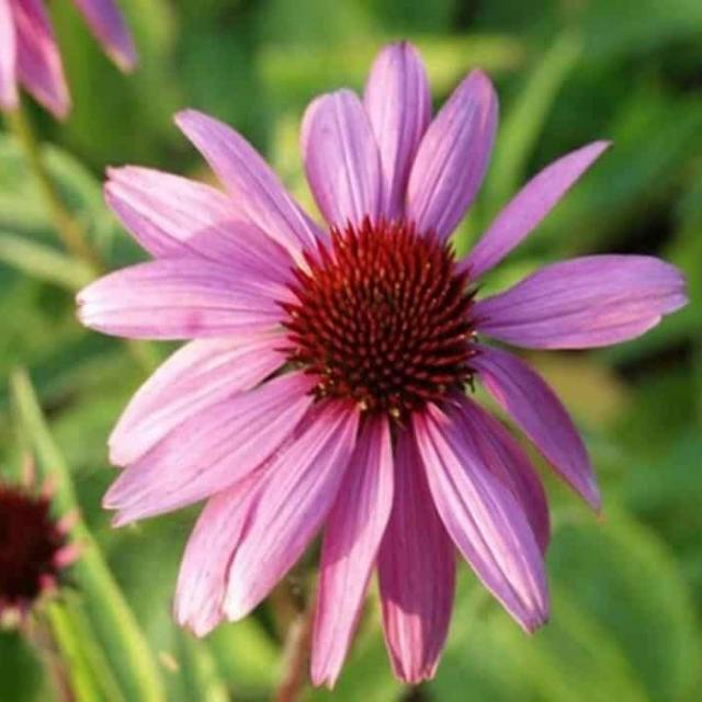 Echinacea Extract: Immune Support – 100-1000g