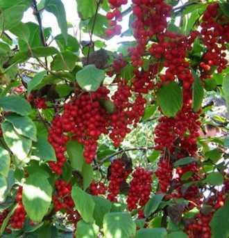 Schisandra Berry: Immune System, Skin, Sleep – 50g-1000g