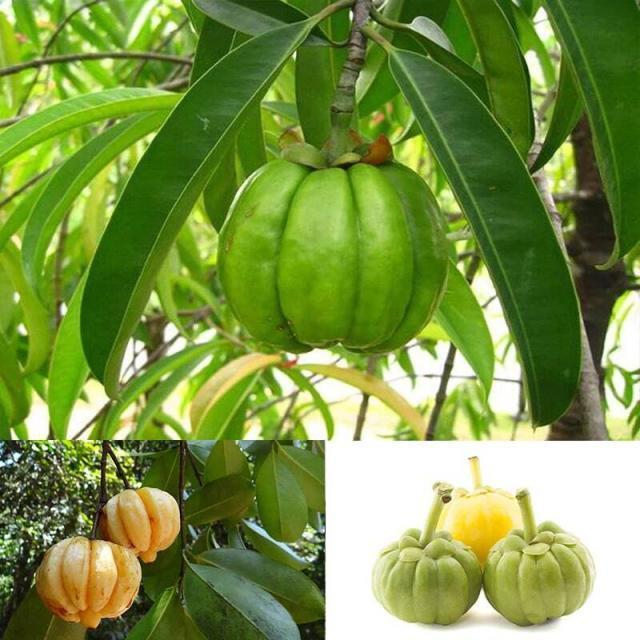 Organic Garcinia Cambogia Powder (EU-certified): Natural Appetite Suppressant, Weight Loss