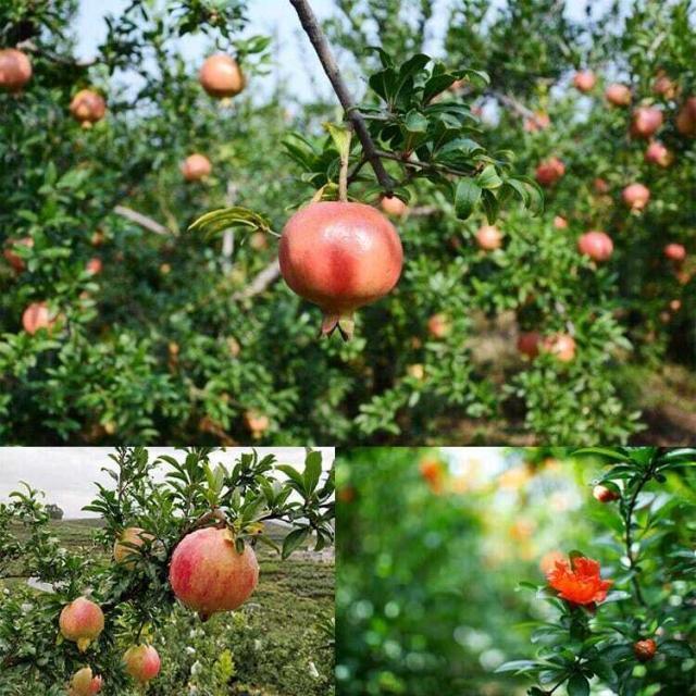 Organic Pomegranate Powder Juice: 100g-1kg – Antioxidant, Immune System (EU-Certified)
