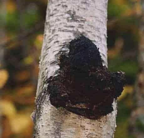 Organic Chaga Mushroom Extract – 100g-1000g (Siberian Chaga)