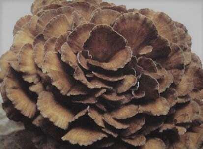 Maitake Mushroom Powder: 30% Polysaccharides – Immune Support – 250g-1kg